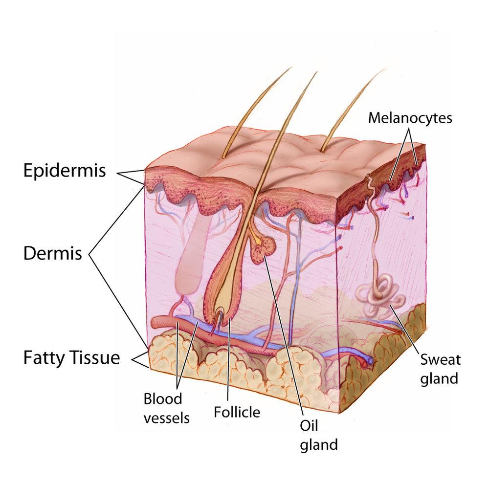 skin diagram.jpg