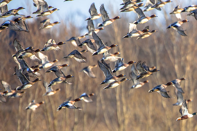 flying wigeon.jpg