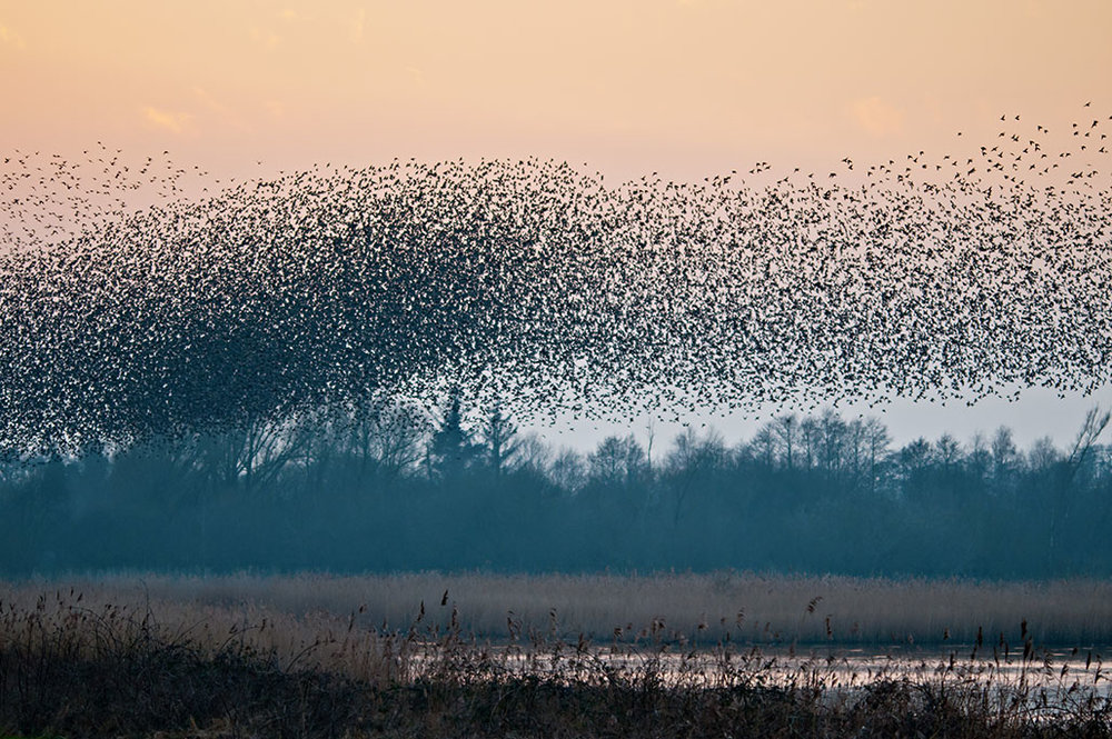 Shapwick starlings.jpg