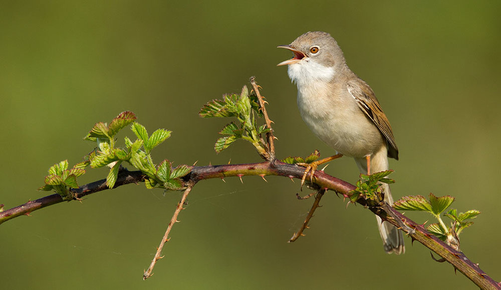 Whitethroat.jpg