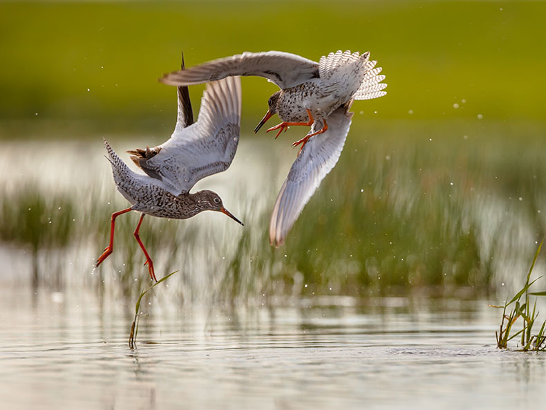 Redshanks.jpg
