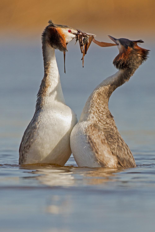 The 'Penguin Dance'