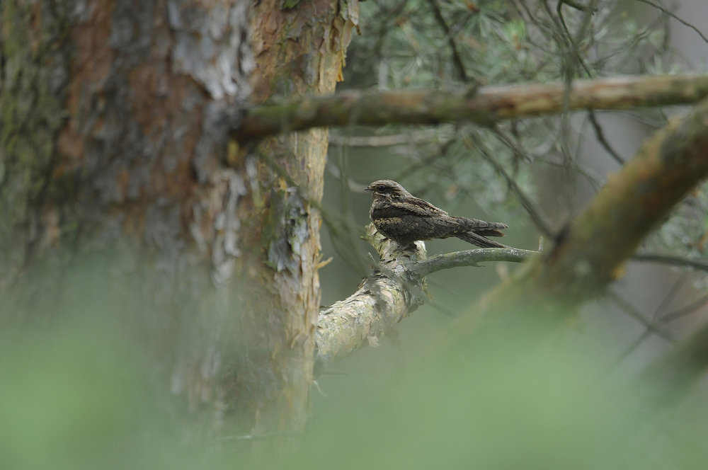 The elusive nightjar