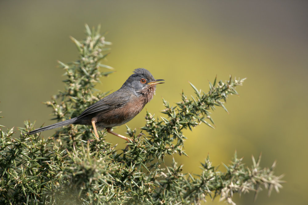 The elusive Dartford warbler