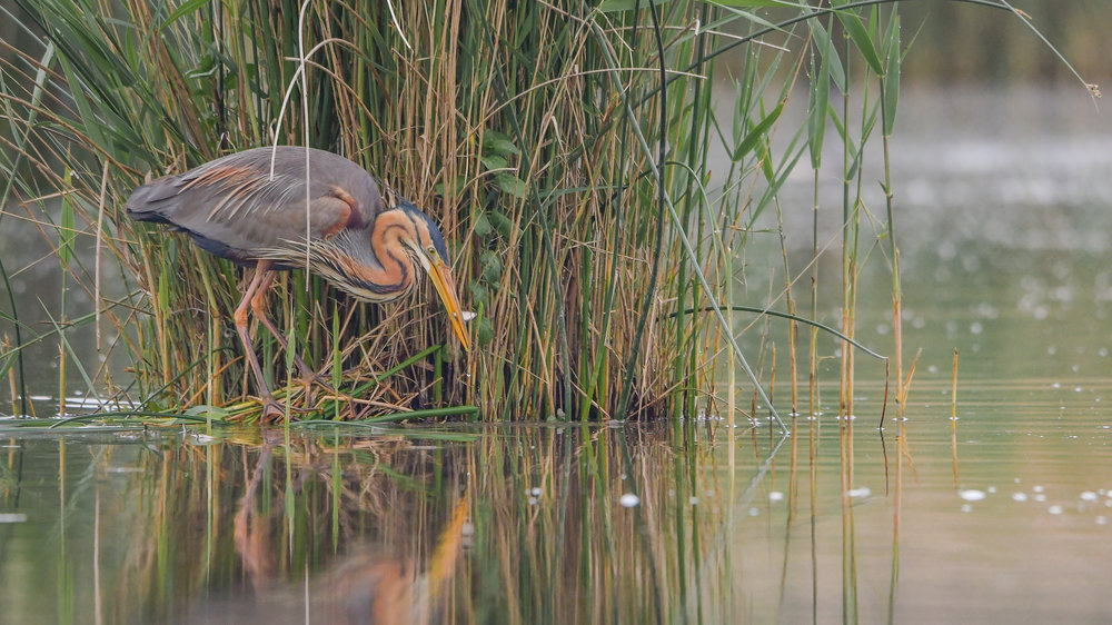Purple Heron (not the one we saw - ours was up a tree)