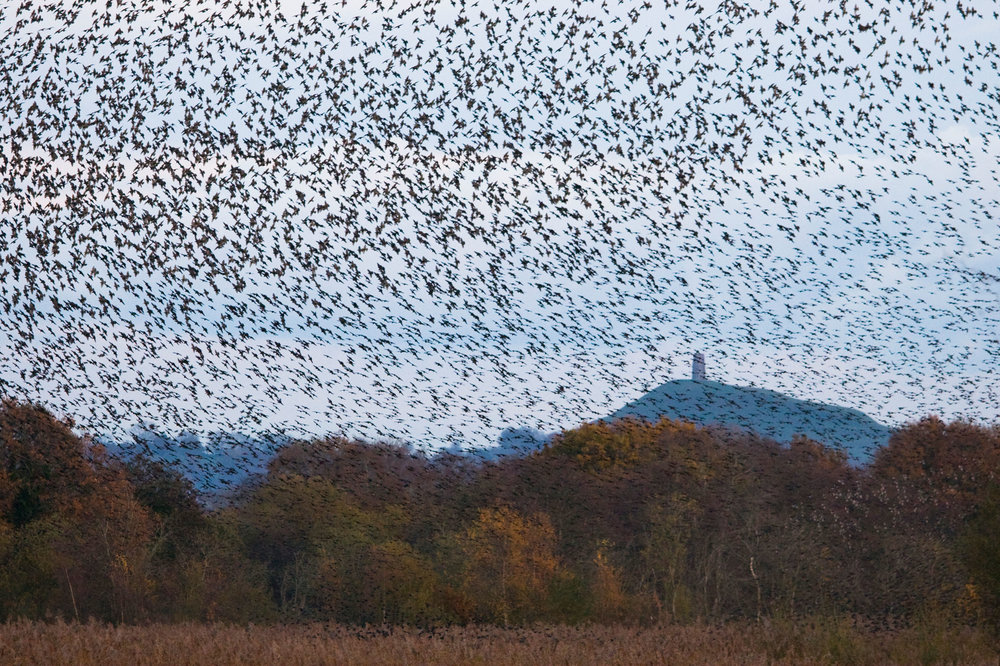 Starlings near Glastonbury