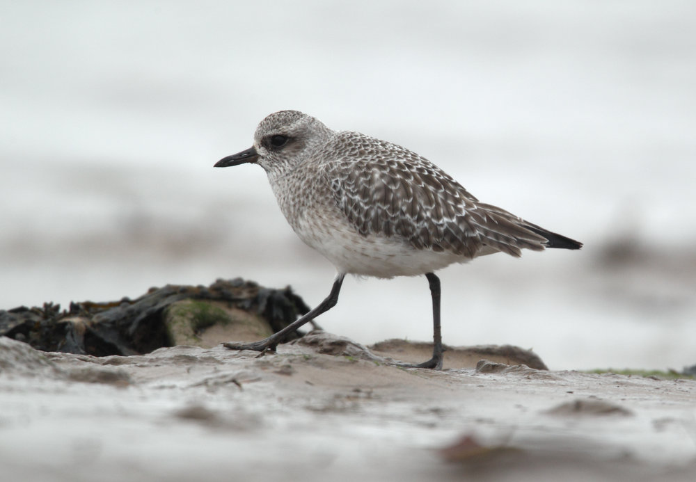 A single Grey Plover was seen on the Brue estuary