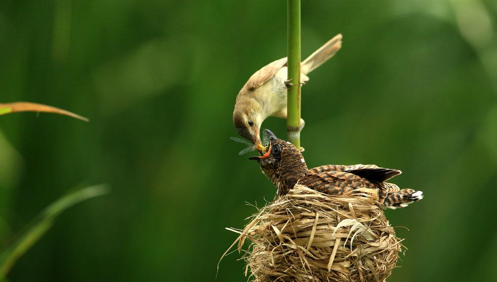 reed warbler:cuckoo.jpg