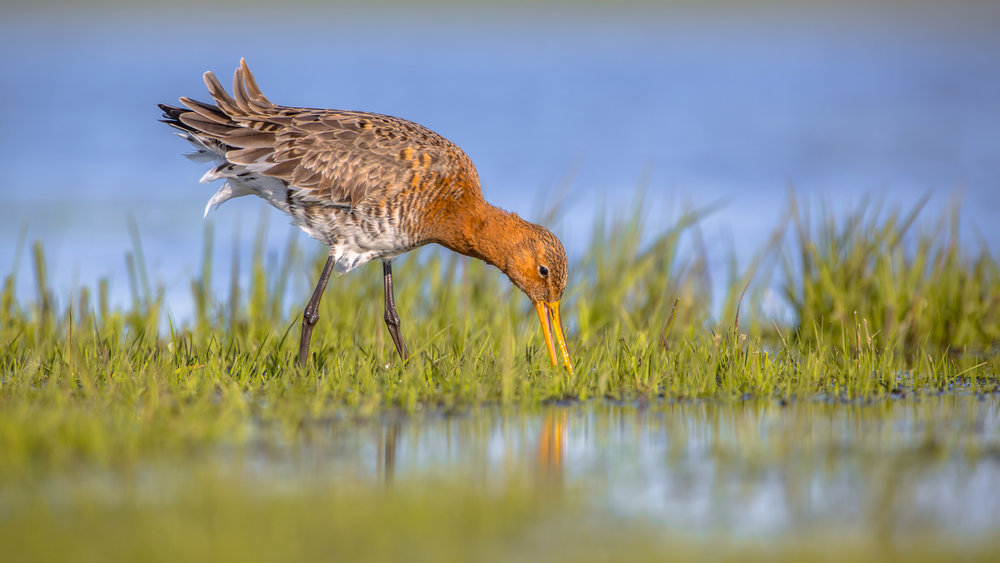blacktailed godwit.jpg