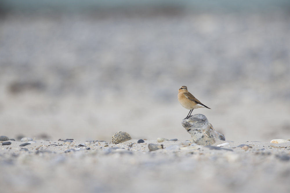 wheatear on beach.jpg