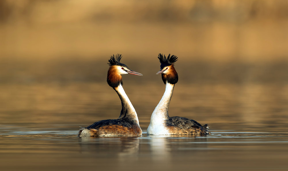 Great crested grebes looking extremely cool in their breeding plumage