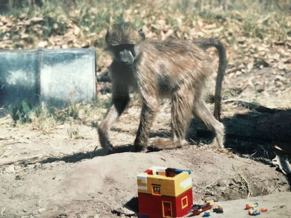 Morgan the baboon inspects my Legos