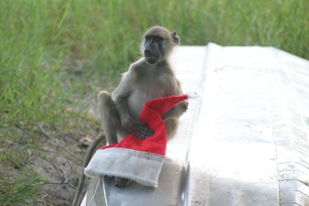 Brut the baboon steals my Santa hat