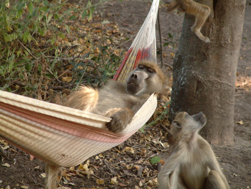 Bart the baboon enjoys some leisure time in camp