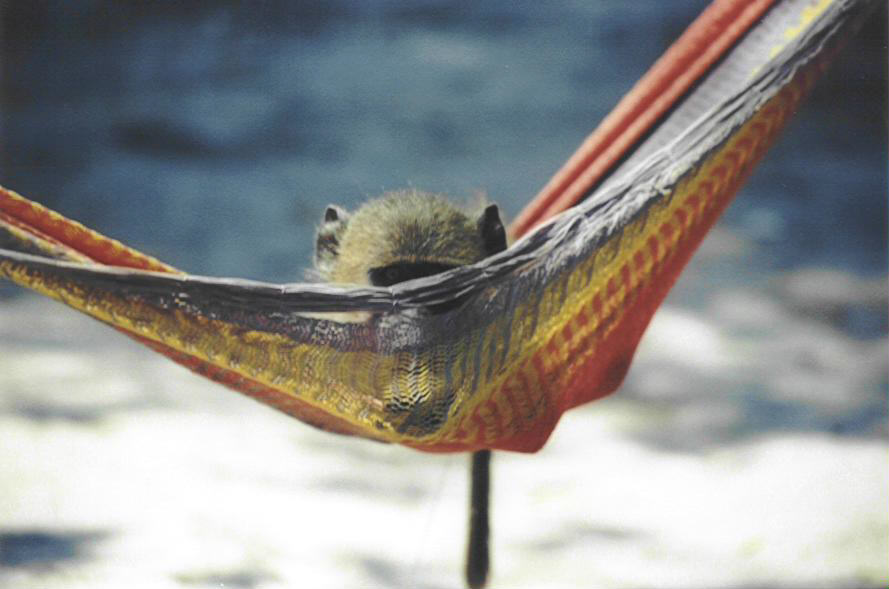 Casals the baboon hides in the hammock