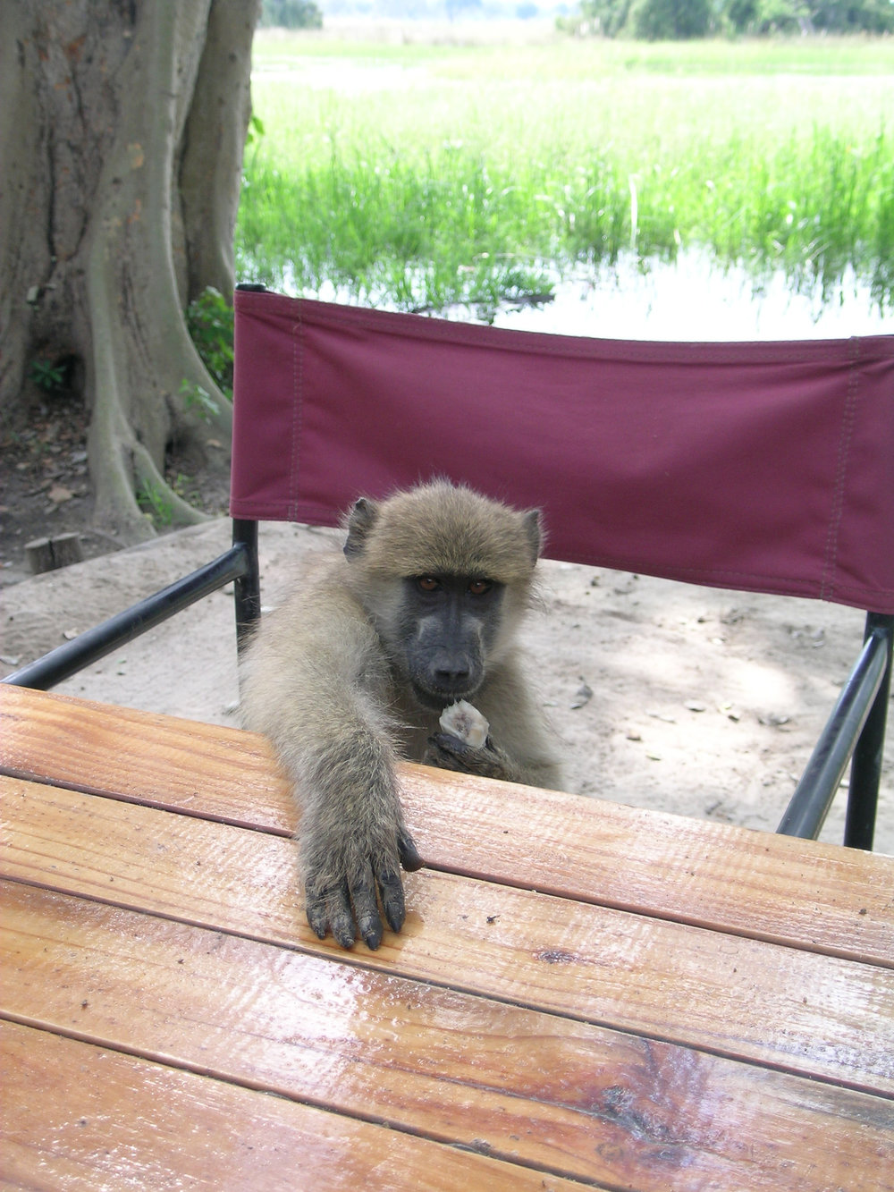 Ruby the baboon invited herself for dinner