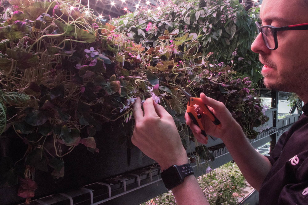 Rob picking through herbs for harvest