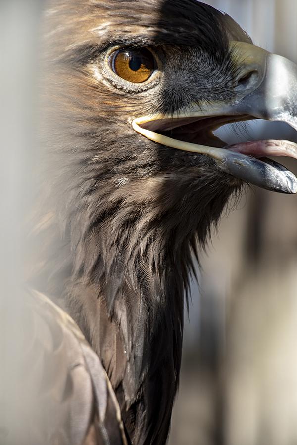 Hawk Eye small.jpg