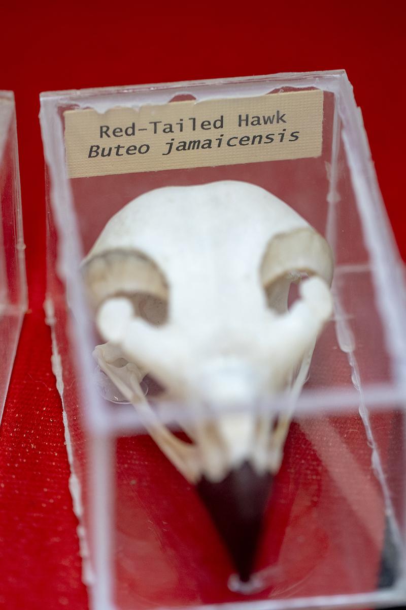 Red Tail Hawk Skull small.jpg