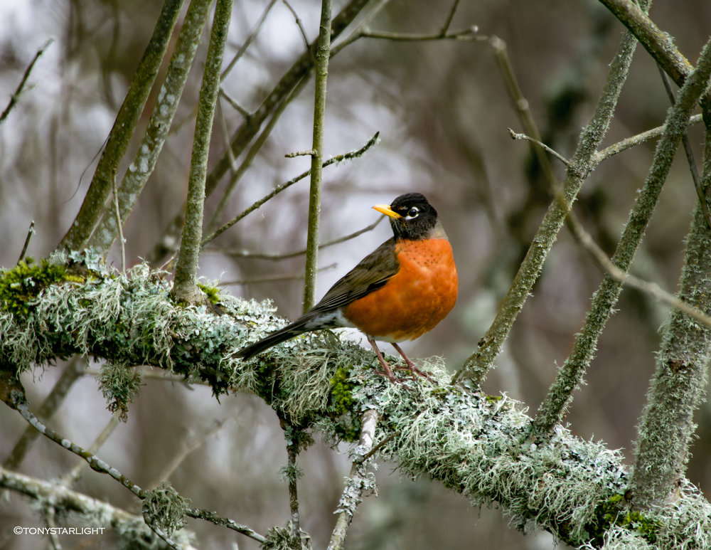 Bird Calendar 2018 American Robin May final.jpg