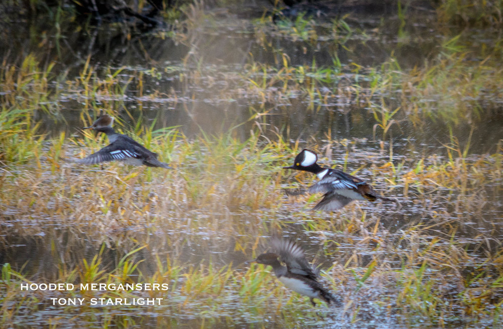 Hooded Merganser DSC_0922.jpg