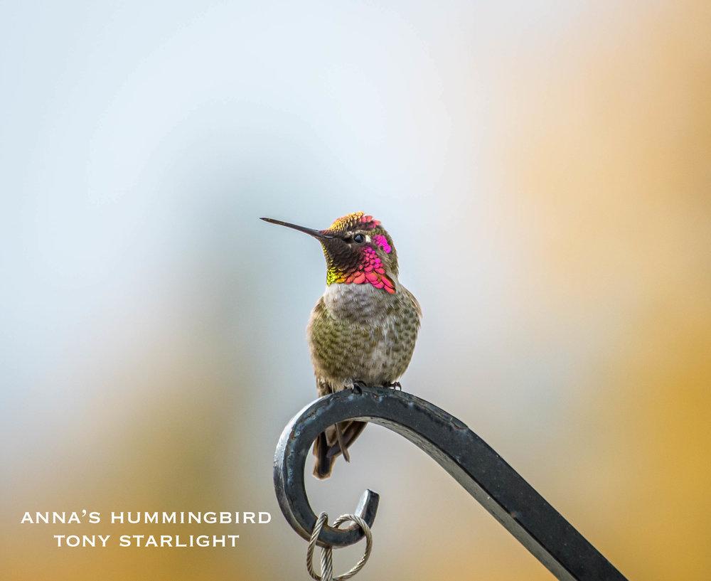 Anna's Hummingbird DSC_0882.jpg