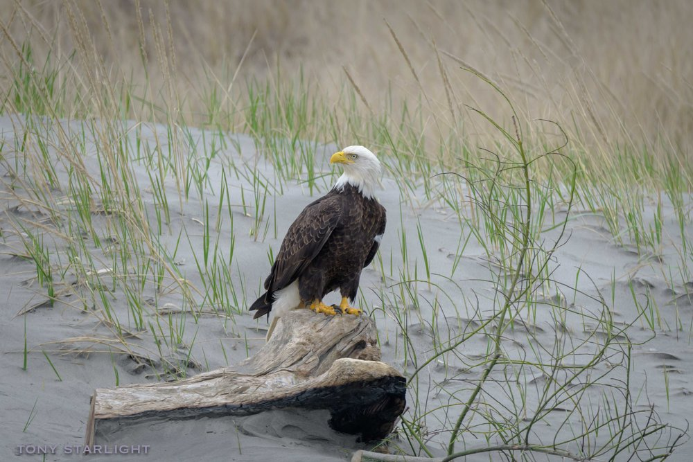 Bald Eagle - Our national bird is the biggest and baddest raptor in the U.S. They are pragmatic when it comes to finding dinner. Sometimes they hunt. Sometimes they steal the fish of someone else's labor. Sometimes they'll fight one another over a seal corpse. Honestly.