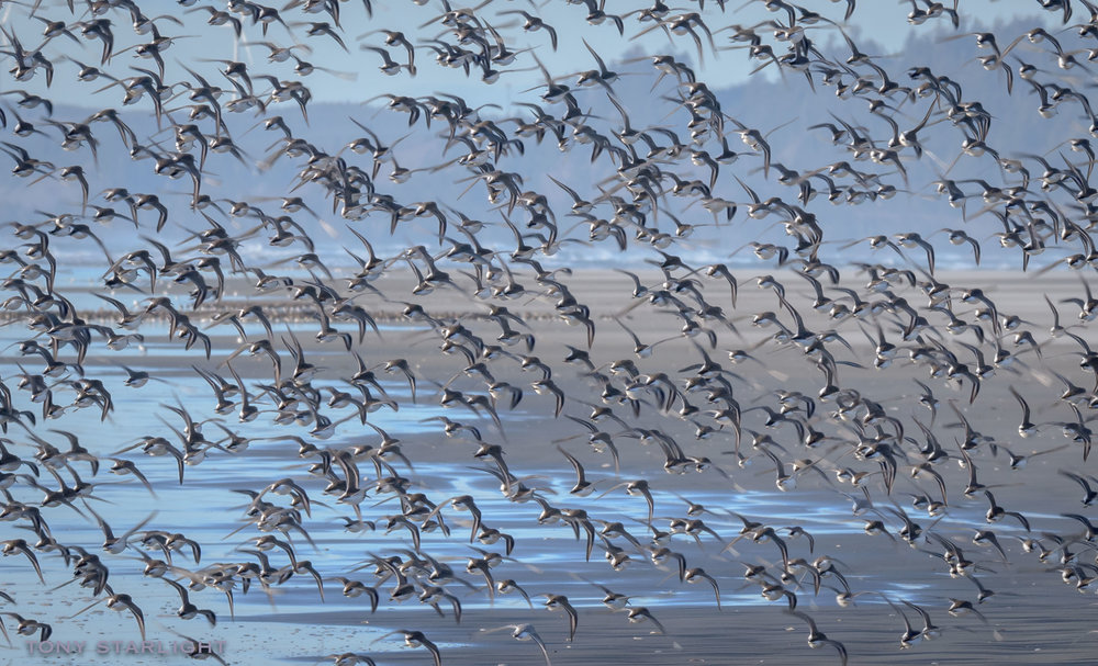 Dunlin - A Murmuration of Dunlins. Not to be confused with a Confederacy of Dunces.