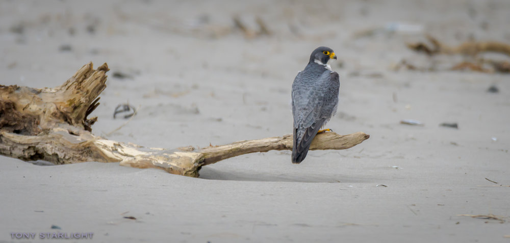 Peregrine Falcon Long Beach, WA DSC_8896-1.jpg