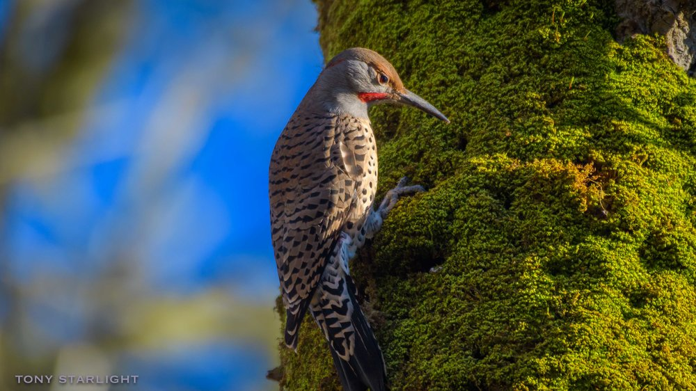 21) Northern Flicker - May 19, 2016Scappoose, Oregon