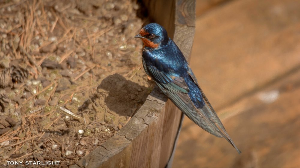 19) Barn Swallow - May 17, 2016Scappoose, Oregon