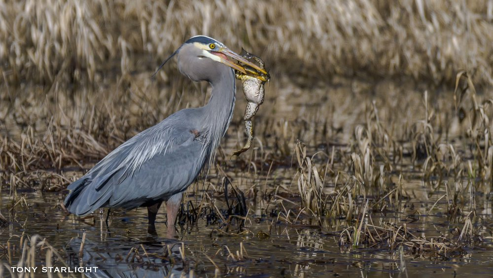 6) Great Blue Heron - April 4, 2016Scappoose, Oregon