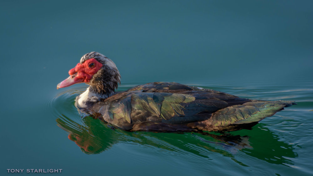 181) Muscovy Duck - February 5, 2017Homestead, Florida
