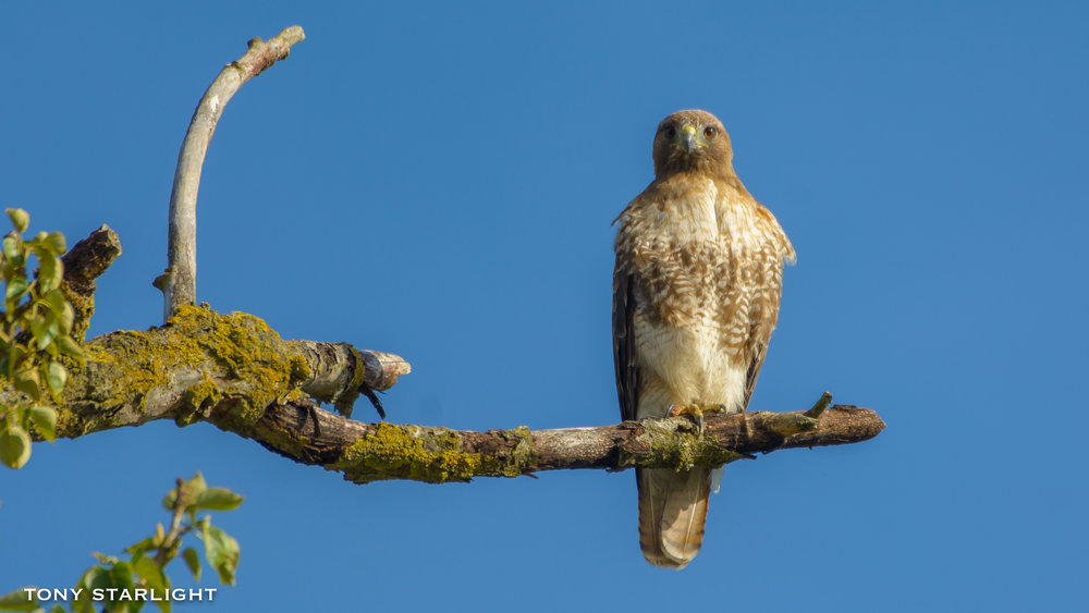 Red-tailed Hawk - Sauvie Island, Oregon