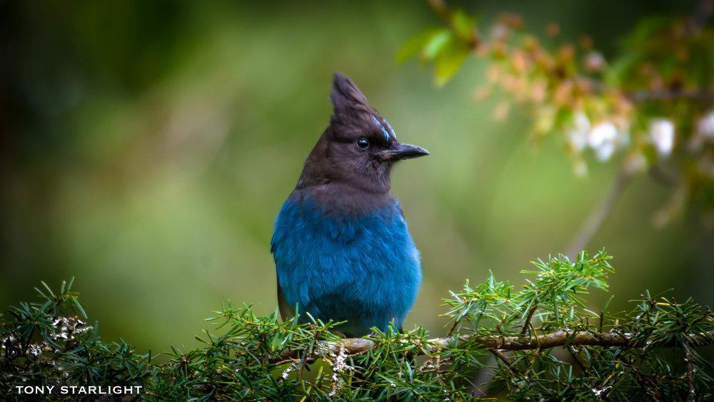 Steller's Jay - Welches, Oregon