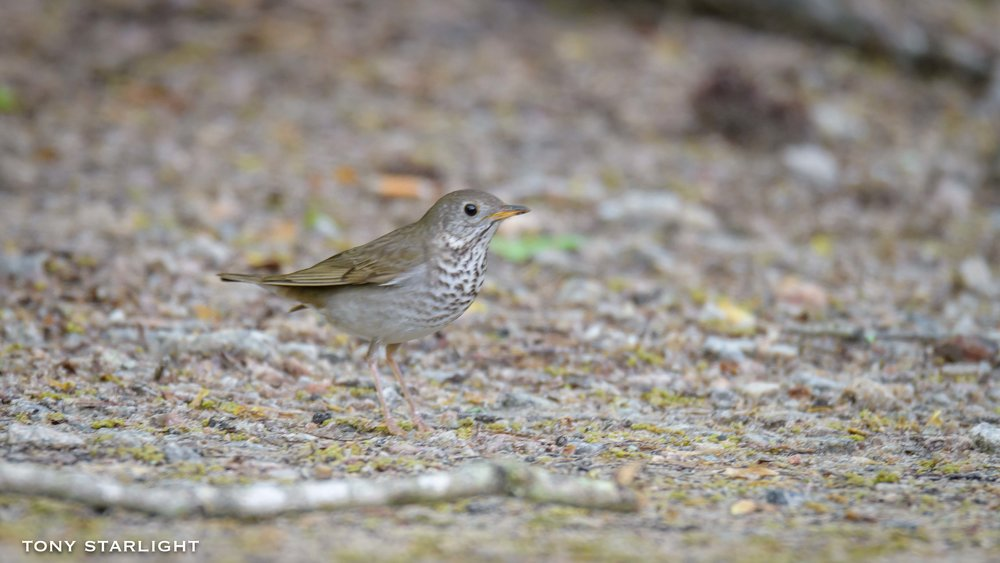 269) Gray-cheeked Thrush - April 24, 2018Sweetwater Creek State Park, Georgia