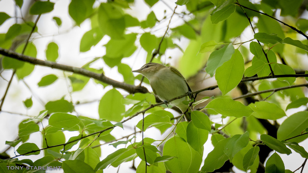 271) Red-eyed Vireo - April 24, 2018Sweetwater Creek State Park, Georgia