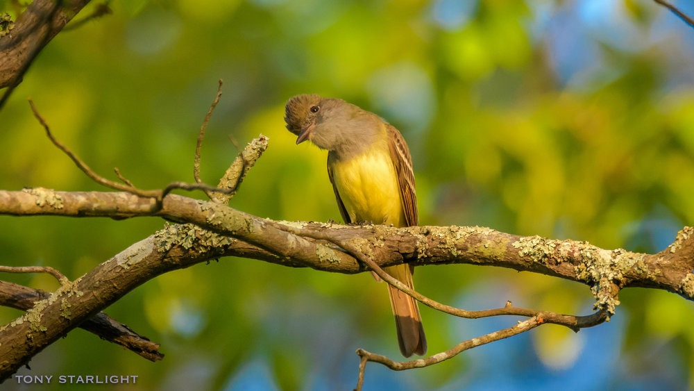 274) Great-crested Flycatcher - April 25, 2018Rome, Georgia