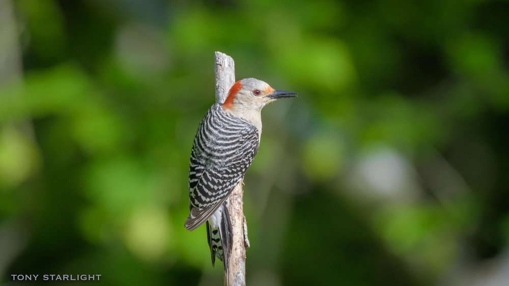 146) Red-Bellied Woodpecker - January 29, 2017St. Pete Beach, Florida