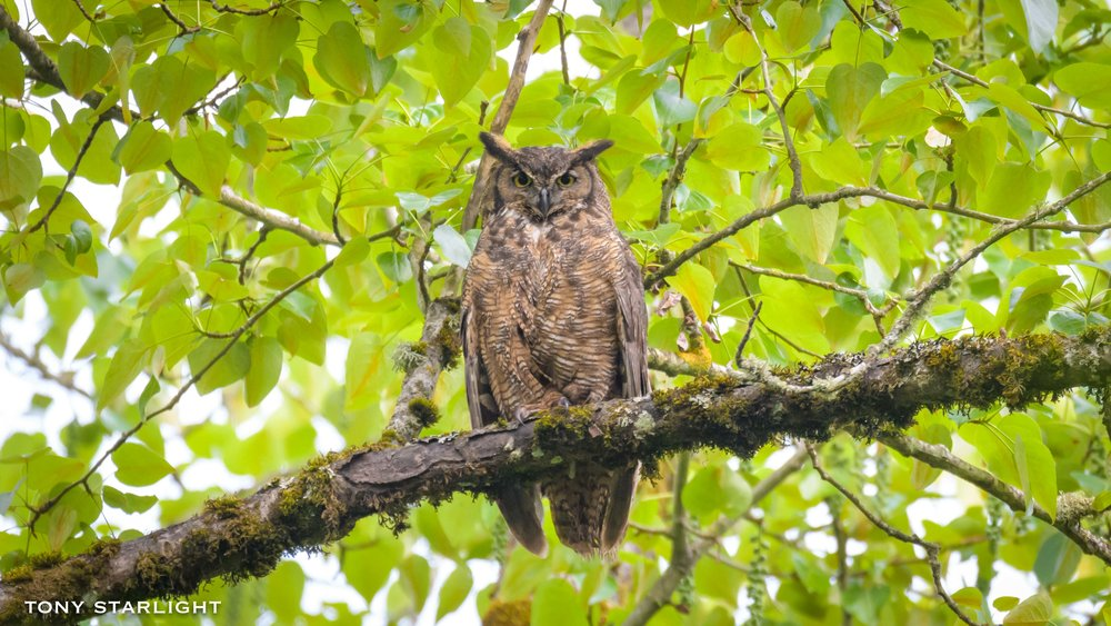 49) Great Horned Owl - June 10, 2016Scappoose, Oregon
