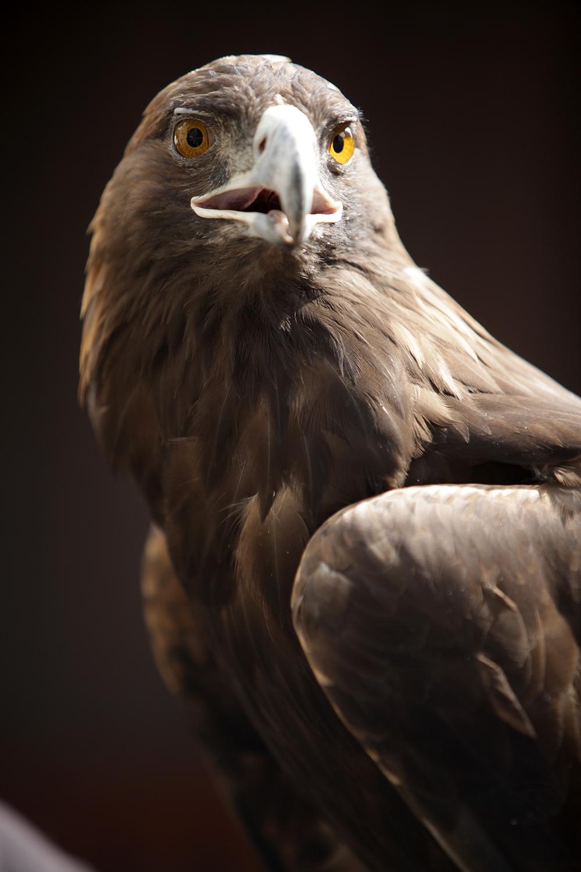 Aguila real conservación .jpg