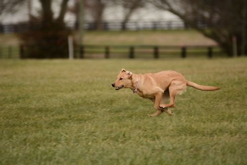 5 rules to rapid recall lexington dog training