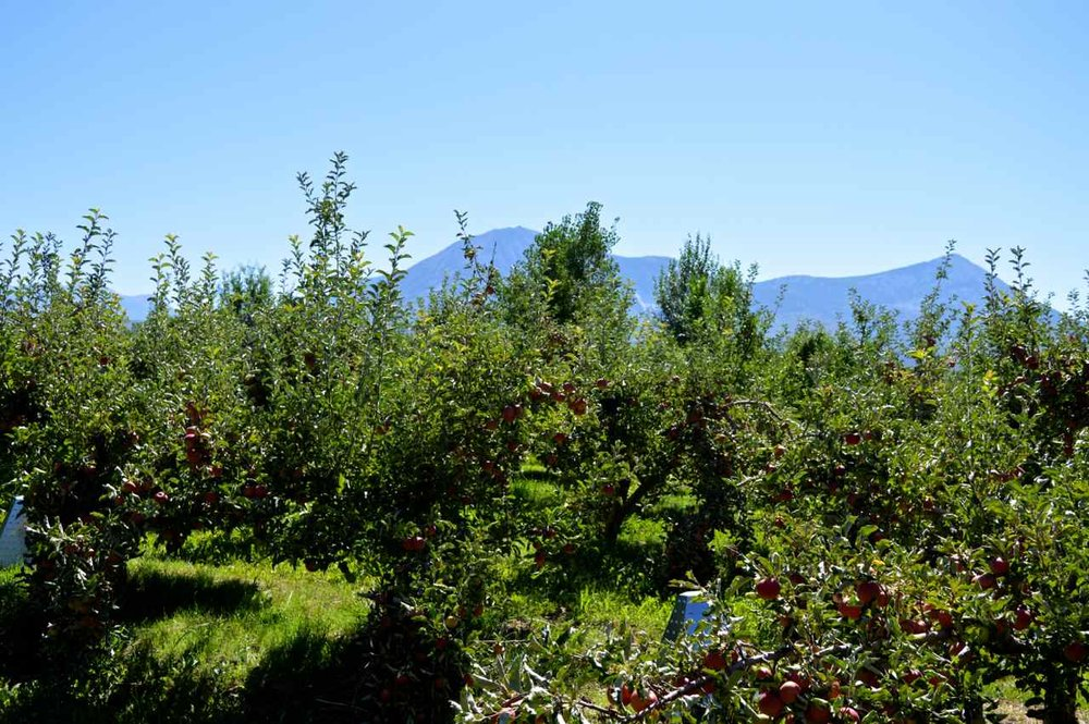 delicious-orchards-apple-picking-paonia-colorado-14.jpg