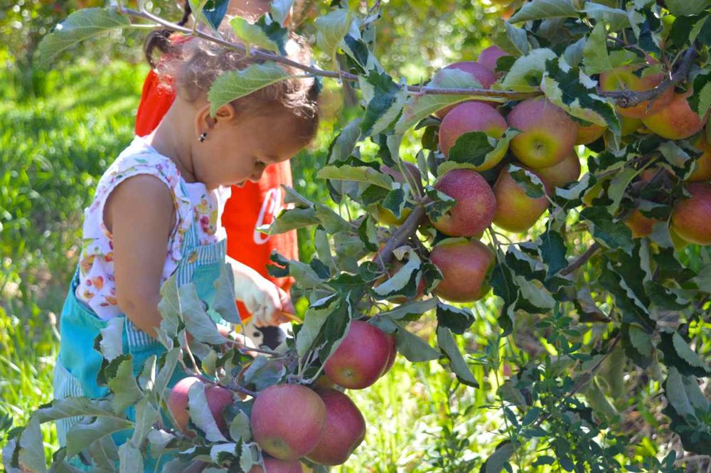 delicious-orchards-apple-picking-paonia-colorado-17.jpg