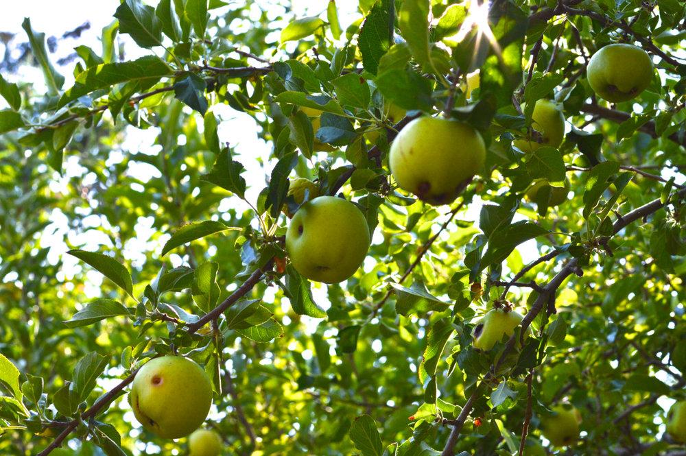 Apple-Picking-in-Colorado-7.jpg