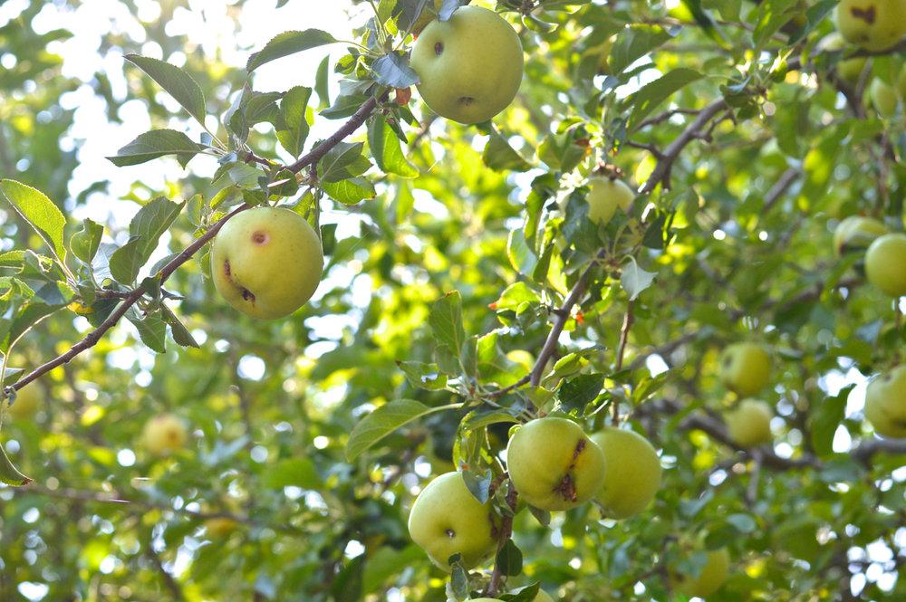 Apple-Picking-in-Colorado-8.jpg