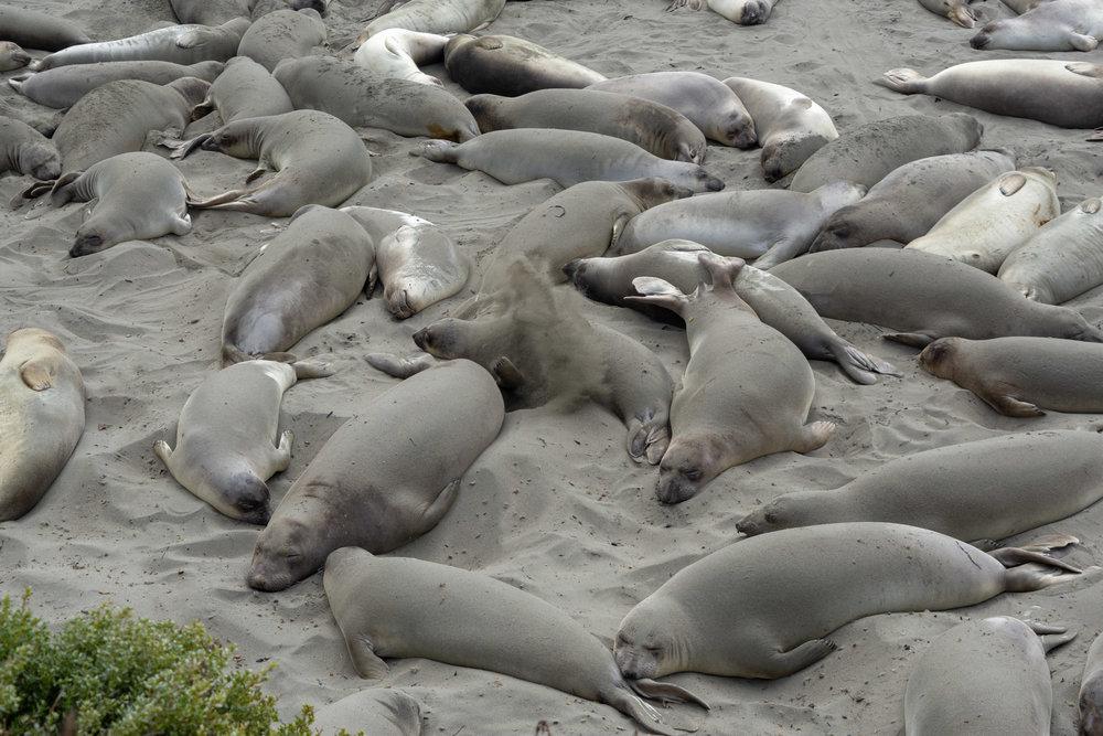 Elephant Seals South of Big Sur California