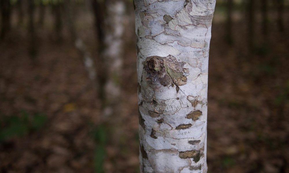 2016.07 Moena Alcanforada tronco corteza 2.jpg