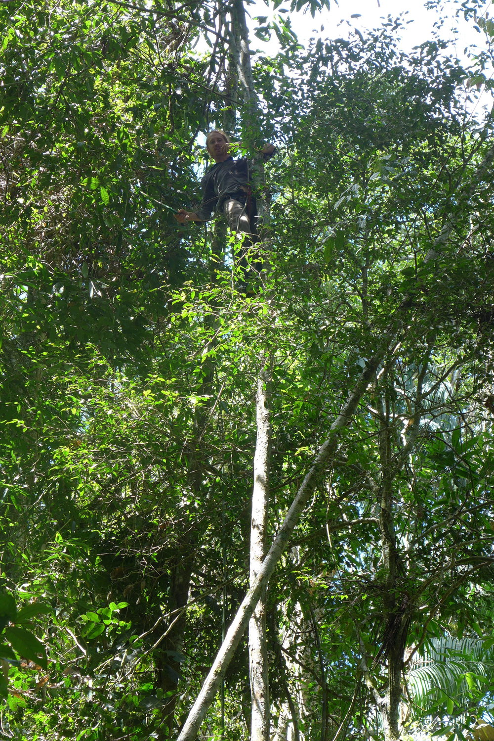 A Camino Verde volunteer climbs a young canelón tree to harvest branches and leaves.