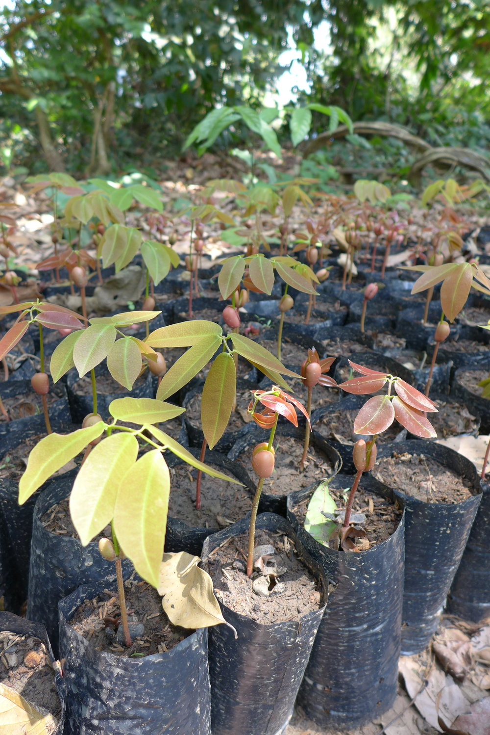 Copaifera  sp. seedlings enriched with biochar.
